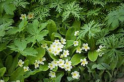 Primula vulgaris and geranium foliage in the Summerhouse Border in spring. Primrose