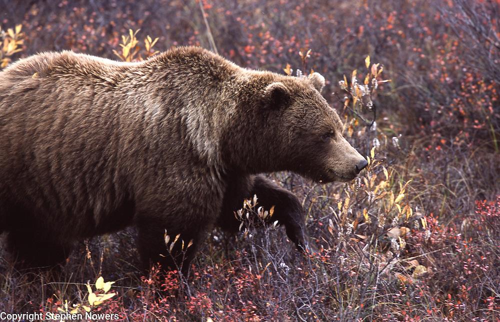 A brown bear in Denali National Park walks through autumn tundra.