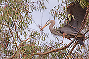 Great Blue Heron male bringing nest building material to the mate in the Eucalyptus tree.  Lake Murray, CA.  USA.