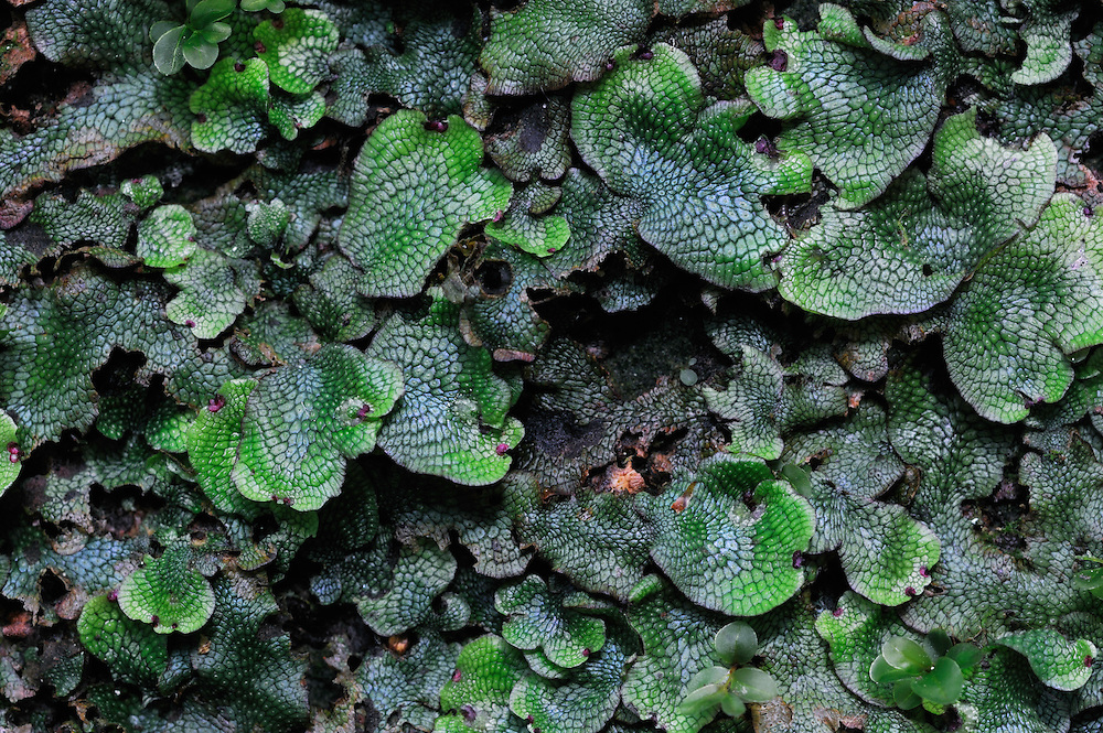 (Marchantia polymorpha) Common Liverwort and (Rhizomnium punctatum) Dotted thyme-moss, Mullerthal trail, Mullerthal, Luxembourg