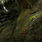 Hose's Frog (Odorrana hosii) in situ in Namtok Raman forest park, Thailand