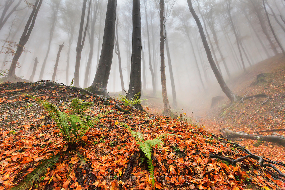 Misty beech autumnal forest in Balkan Mountains