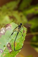 Pelecinid Wasp (Pelecinus polyturator)<br /> WISCONSIN: Columbia Co.<br /> Wyocena<br /> 18-Oct-2017<br /> K.K. Abbott &amp; J.C. Abbott