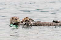 Sea Otter [Enhydra lutris] adult female floating on back while pup sleeps on her chest; Morro Bay, CA