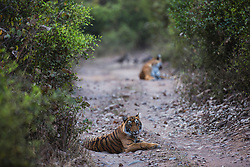 Two endangered Bengal tigers (Panthera tigris tigris) in the wild laying on a road, Ranthambhore National Park, Rajasthan, India,
