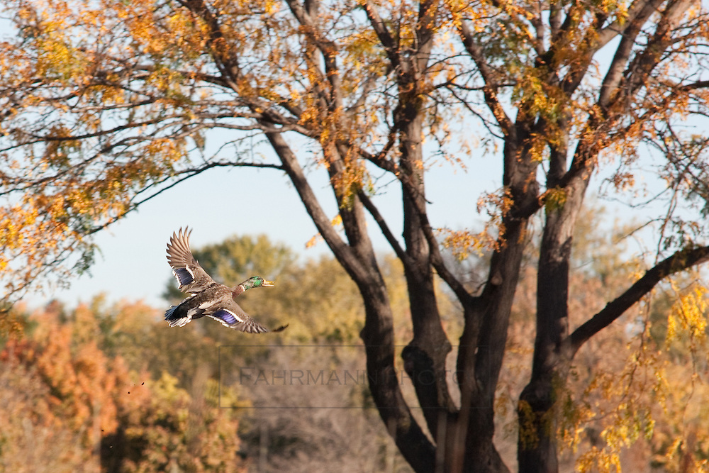 Mallard with wings spread near tree in the autumn months