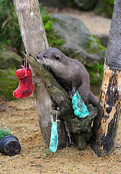 © Licensed to London News Pictures. 18/12/2012 London, UK. Festive treats are given to the otters at Whipsnade Zoo, Bedfordshire..Photo credit : Simon Jacobs/LNP