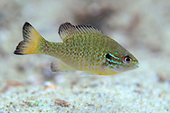 Redbreast Sunfish (Juvenile)<br />