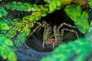 Funnel Weaver spider on web