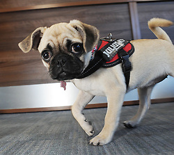 Bella the Pug<br /> <br /> (c) David Wardle | Edinburgh Elite media