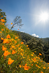 """""""California Poppies 5"""" - These wild California Poppy flowers were photographed near Windy Pt. along the North Fork American River."""