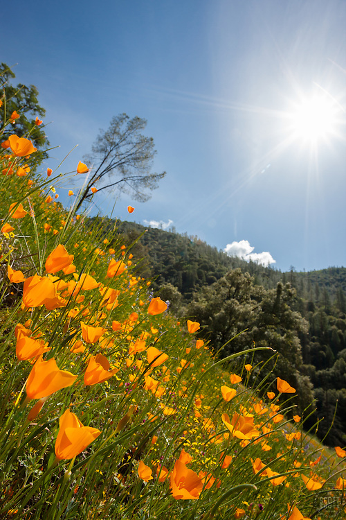 """California Poppies 5"" - These wild California Poppy flowers were photographed near Windy Pt. along the North Fork American River."