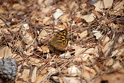 A small butterfly rests in leaf litter near Long Point on the east coast of Tasmania.