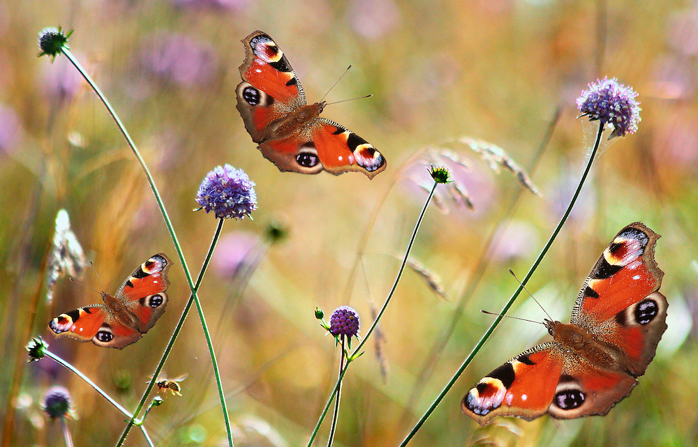Peacock Butterfly digital art.