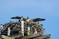 Young Osprey (pandion haliaetus) trying out wings at nest on an artificial platform,  Petite Riviere, Nova Scotia, Canada,