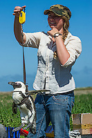 African Penguin being weighed prior to having a satelite tracking device fitted to its back, African Penguin Satelite Tracking, Dassen Island, Western Cape South Africa