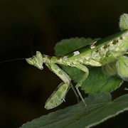 A Creobroter sp. Mantis at the Bang Phra Non-hunting Area in Eastern Thailand.