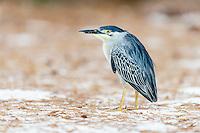 Adult Green-Backed Heron, D'Arros Island and St Joseph Atoll, Amirantees, Seychelles,