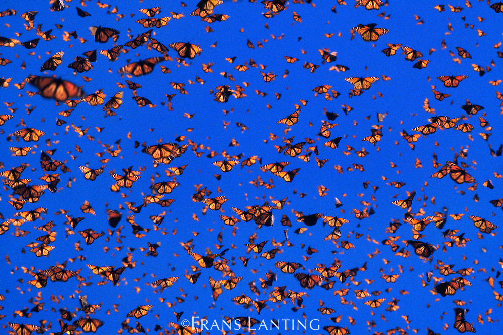 Monarch butterflies in flight, Danaus plexippus, Michoacan, Mexico