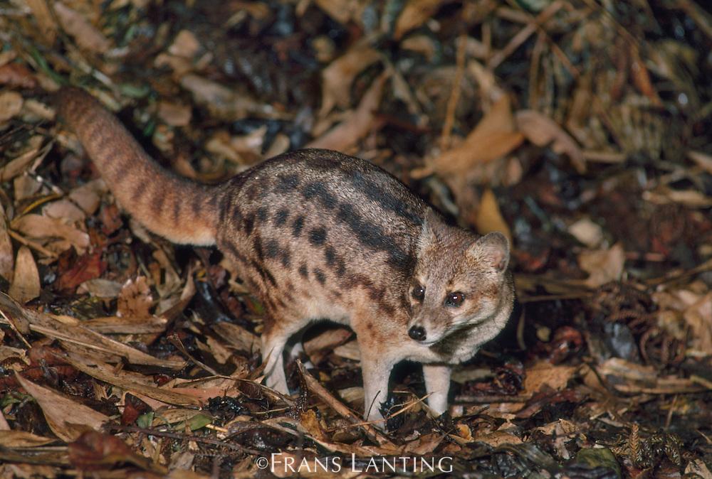 Malagasy civet, Fossa fossana, Ranomafana National Park, Madagascar