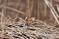 A Marsh Wren sings with its tail in the air to attract a mate.