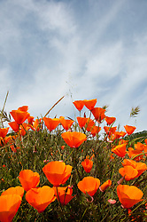 California wildflower travel: Poppies, California state flower, at Mt. Diablo State Park.Photo copyright Lee Foster.  Photo # cawild102193