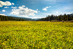 """""""Wildflowers At Sagehen Meadows 3"""" - Photograph of yellow buttercup wildflowers at Sagehen Meadows in the spring."""