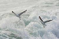 Kelp Gulls hovering over large West Coast waves in search of food morsels, West Coast National Park, Western Cape, South Africa