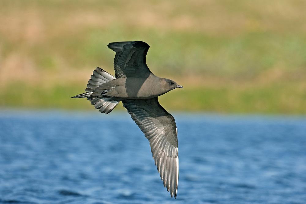 Arctic Skua Stercorarius parasiticus L 46cm. Aerobatic, graceful seabird with deep wingbeats and narrow, pointed wings. Food parasite of Arctic Tern and Kittiwake. Adult has wedge-shaped tail and pointed streamers. Sexes are similar but adults occur in two morphs. Adult pale phase has white neck, breast and belly, dark cap and otherwise grey-brown plumage. Note faint yellowish flush on cheeks. Adult dark phase is uniformly dark grey-brown. Juvenile is dark rufous brown. Voice Utters nasal calls near nest. Status Local summer visitor to Scottish coasts; coastal passage migrant elsewhere.