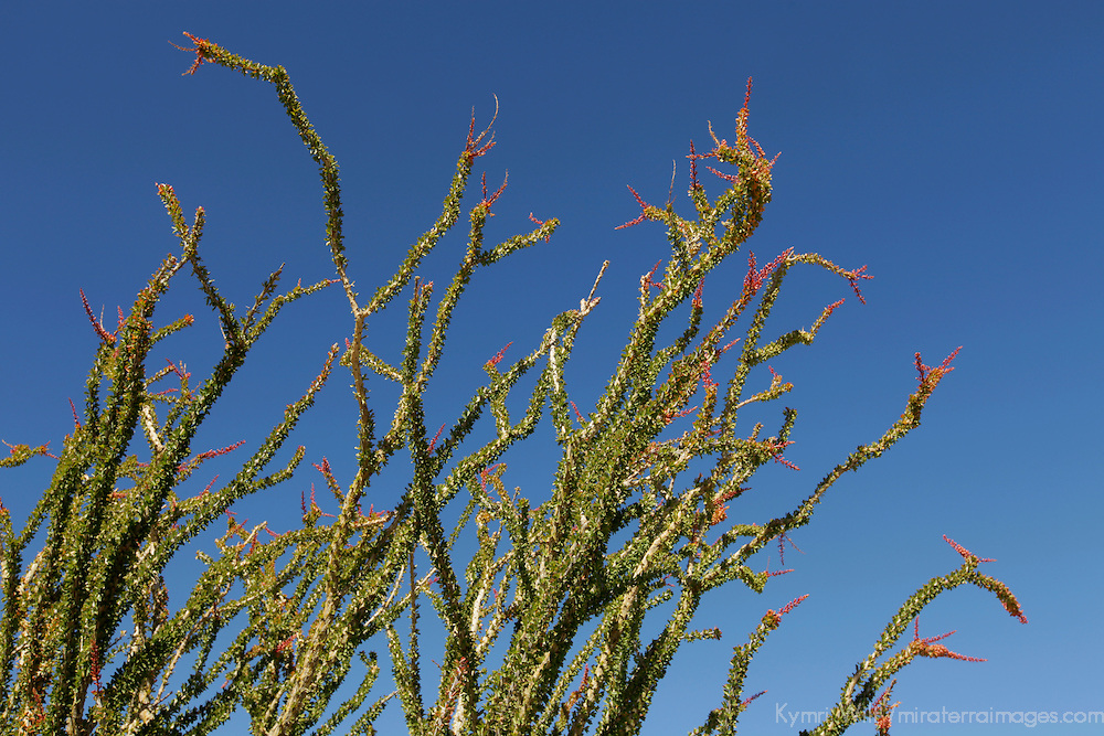 USA, California, San Diego County. Ocotillo in bloom at Anza-Borrego Desert State Park.