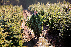 "© Licensed to London News Pictures. 1/12/2013. Market Bosworth, Leicestershire, UK.  Pictured, Harrison Conner, carries back a tree he has just felled past hundreds of others in one of the growing fields. The Frizeland Christmas Tree Centre, Market Bosworth, is one of the largest providers of Christmas trees in the country. This year they planted forty thousand new trees to add to their total of over three hundred thousand. As well as supplying large wholesalers, they also offer a ""pick your own"" service for individuals. Some people choose their trees early in the year, mark it with a tie colar and then collect it nearer Christmas. This year has seen the tree nursery grow even larger than last year and is expecting bumper sales due to the recent good weather. Photo credit : Dave Warren/LNP"