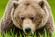 A bear in the McNeil River State Game Sanctuary and Refuge, Alaska.