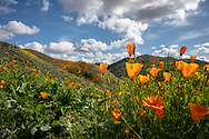 Close up of California poppies with color on hillside beyond them on a beautiful cloudy day in  Lake Elsinore, California.