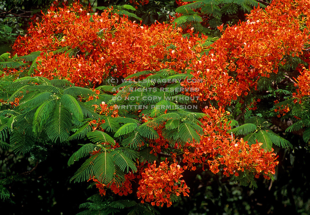 Image of tropical flower blossoms in Saint Thomas, United States Virgin Islands, Caribbean
