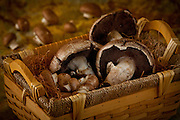 Portabello Mushrooms in basket,with Baby Bellos
