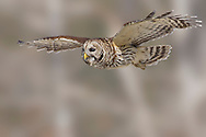 Barred Owl - Strix variaAdult<br /> Osceola Co., FL<br /> February 2006