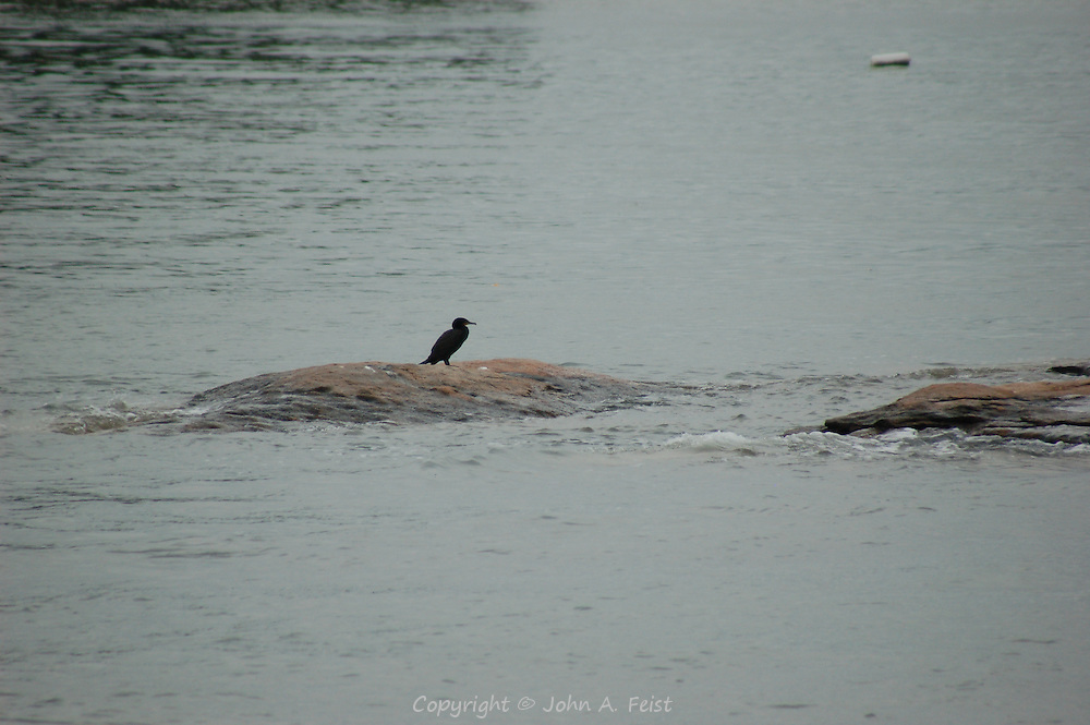 A cormorant on one of the tiny thimble islands in Long Island Sound at Stone Creek, CT