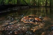 Marine toad (Rhinella marina) from Iwokrama, Guyana.