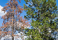 A Lodgepole pine after being infested and killed by the Mountain Pine Beetle next to a live Lodgepole Pine in Grand Tetons National Park, Wyoming, USA.