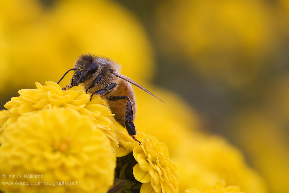 European Honey Bee on Chrysanthemum, Tasmania