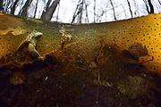 During their mating season the male moor frogs (Rana arvalis) show a distinctive blue coloration. They gather in shallow ponds which quickly warm up in spring.  | Der Moorfrosch (Rana arvalis) trift sich zur Laichzeit in flachen Randbereichen von Teichen und Seen. Das Wasser wärmt sich hier besonders schnell auf und die Tiere begeben sich zwischen dem schon Froschlaich auf Partnersuche. Selent, Deutschland