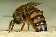 DEU, Deutschland: Biene, Honigbiene (Apis mellifera), Königin, erkennbar an langem Hinterleib, steckt das Ende des Hinterleibes in eine leere Zelle einer Wabe, Position bei einer Eiablage, Bienenstation an der Bayerischen Julius-Maximilians-Universität Würzburg | DEU, Germany: Bee, Honey-bee (Apis mellifera), queen, recognizable on their long tail, sticking the far end of the tail into an empty cell of a honeycomb, this is the position for laying eggs, Beestation at the Bavarian Julius-Maximilians-University Würzburg