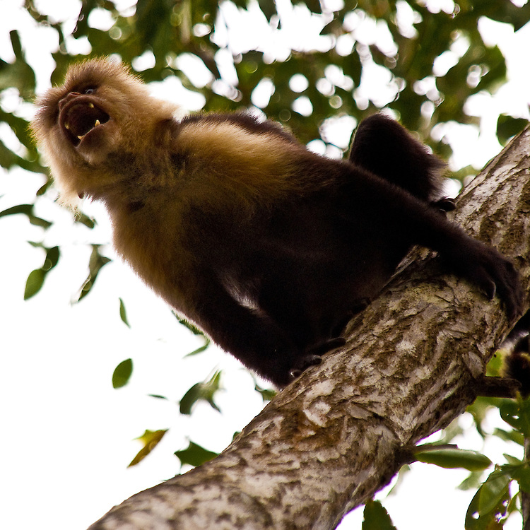 This spider monkey is called mono ara&ntilde;a from the locals, scientific name is Ateles geoffroyi. <br /> <br /> It's habitat is Central America's rain forest, from Yucatan to Panama. The species is listed as endangered on the IUCN Red List of threatened species: http://www.iucnredlist.org/apps/redlist/details/2279/0