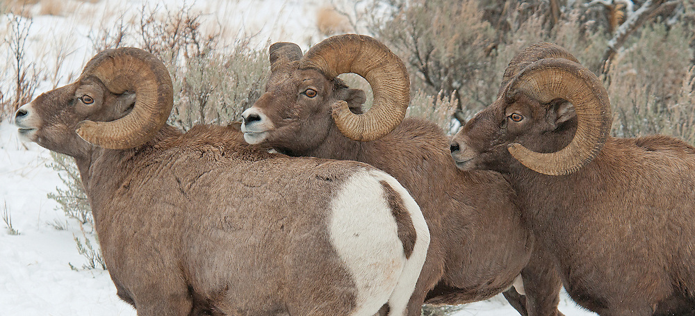 Even after the rut has ceased, bighorn rams continue to establish dominance hierarchies in their bachelor herds. These three rams were working out a difference of opinion in their wintering grounds in the Shoshone National Forest. In this instance, the middle ram came out on top.
