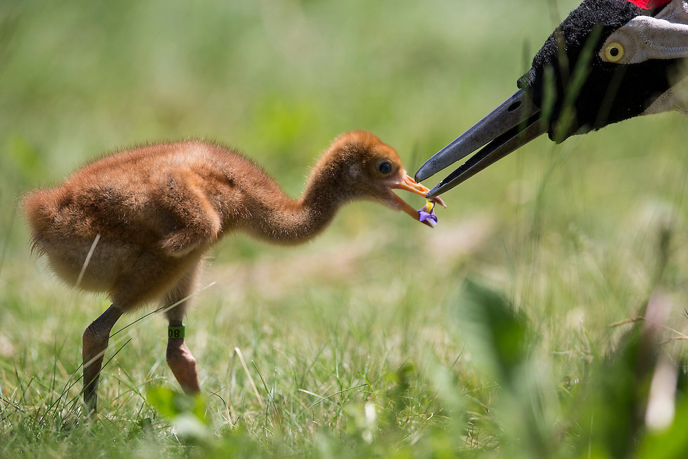A young Whooping Crane takes some food from the puppet head of the costumed aviculturist.