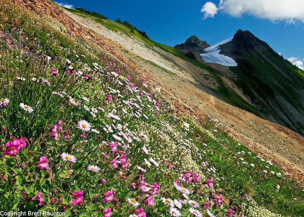 Mt. Baker Wilderness Area; Wildflowers; Monkeyflower; Alpine Daisey; Pacific NW; Coleman Pinnacle; Ptarmigan Ridge; Washington State
