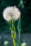 Dandelion blowball. Photographed in Armenia