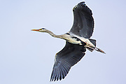 Grey Heron in flight   Gråhegre i lufta