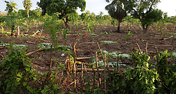 Destroyed banana trees on a small farm on the outskirts of Port-de-Paix, Haiti, on Saturday, September 9, 2017. Photo by Jose A. Iglesias/El Nuevo Herald/TNS/ABACAPRESS.COM