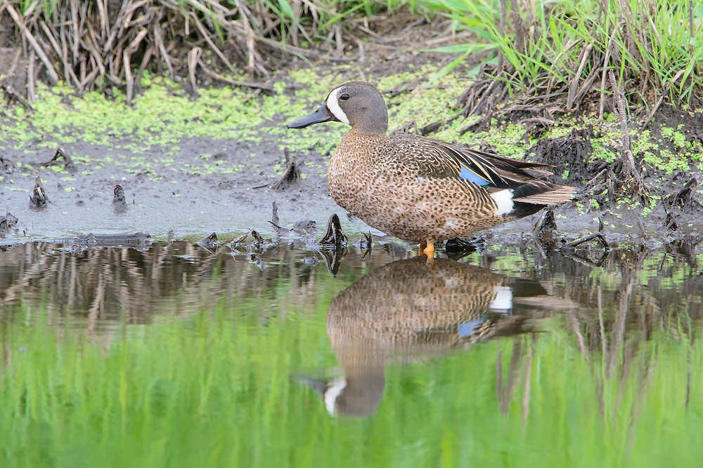 Blue-winged Teal (Anas discors), Montana